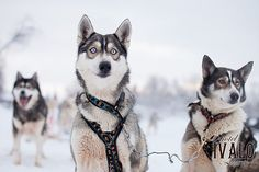 Stunning, adorable huskies. Minna Kulmala for Hotel Ivalo, Lapland, Finland.