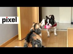 French Bulldog Desperately Tries to Play with Unamused Cat - YouTube