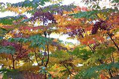 aralia spinosa fall