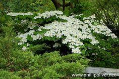 Viburnum 'Shasta' Viburnum grows quickly, can be cut back dramatically ...