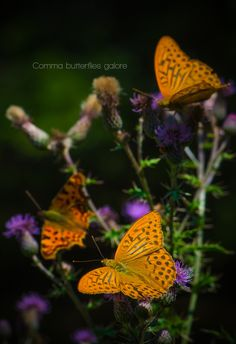 Comma butterflies galore by Cristian Sirbu on 500px