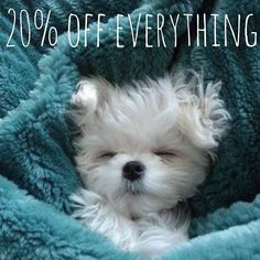 Havanese - 10 Laziest Dog Breeds That Will Keep Your Couch-Potato Life Company - page - BuzzAura Lazy Dog Breeds, Small Dog Breeds, Small Dogs, Havanese Puppies, Dogs And Puppies, Doggies, White Puppies, Baby Animals, Puppies