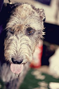 Irish wolfhound-looks just like my dog Shane!  Had him when I was a teenager.  Great dog!