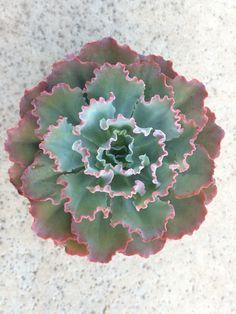 Image result for Echeveria 'Crinoline Ruffles'