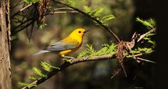 Happy Belated Birthday Bill Stoddard by Andrea Cowart on Capture Memphis // He always loved Prothonatary Warblers. Bill, you would be disappointed in both of your friends and former students. Forgive us both and watch over us from above