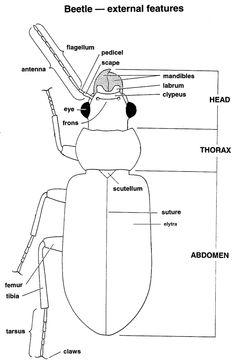 Image result for beetle anatomy diagram   Homeschool Science ...