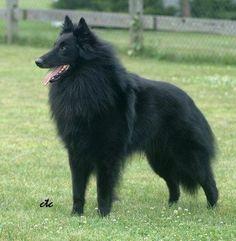 Belgian Shepherd  (Jayde's dog Sheoda)