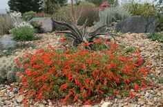 Zauschneria garrettii Orange Carpet hummingbird trumpet  moderate to low water use orange, mid-late summer, sun/part sun perennial groundcover hybrid