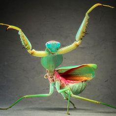 Giant Malaysian Shield Praying Mantis