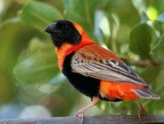 Red Bishop Weaver (Africa)