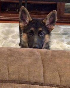 Koda the German Shepherd, LEARNING HOW TO PLAY PEEK-A-BOO????