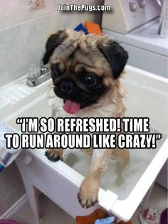 Bath Time Pug from Jan 2, 2013
