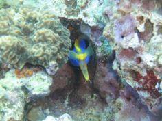 ribbon eel at medhufaru