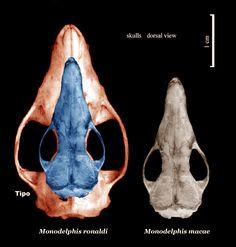 Essa figura mostra o centro de crescimento do crânio. A partir desse centro o crânio se expande. Observem as órbitas, crescimento diferenciado.