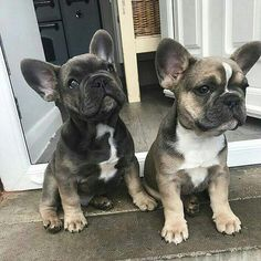 The major breeds of bulldogs are English bulldog, American bulldog, and French bulldog. The bulldog has a broad shoulder which matches with the head. Cute French Bulldog, French Bulldog Puppies, French Bulldogs, Frenchie Puppies, Cute Puppies, Cute Dogs, Dogs And Puppies, Doggies, Toy Dogs