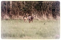 Chevreuils en pleine nature dans le Loiret (2015) - Adeline GAFFEZ -