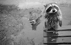 Racoon gang. Would you say no to this guy?
