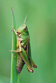 Common Green Grasshopper | Flickr - Photo Sharing! Grasshopper Pictures, Weird Animal Facts, James And Giant Peach, Dragonfly Insect, Alphabet Pictures, Praying Mantis, Animal Species, Bugs And Insects, Animal Heads