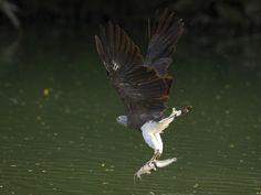 Gery-headed Fish Eagle _ SBG | by mahi mahi 163