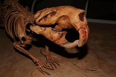 The Giant Beaver lived in North America but went extinct during the last Ice Age, 10,000 years ago.