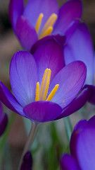 Crocus -I'm so excited for when our bulbs bloom in the spring!
