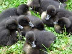 Cayuga Ducks :)