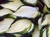 'ISLAND CHARM'G. Rasmussen/Alex Malloy 1997.'Flamboyant' hybrid. Lapas ovālas līdz sirds veida, dzeltens ar neregulāru iesvītrojumu un zaļu apmali, cers veidojas līdz 20 cm diametrā un tikpat augsts. Zied ļoti bagātīgi ar gaiši lavandziliem ziediem. Burvīga mazā dzeltena hosta, kura piedevām labi vairojas, tomēr vajadzētu izvairīties no pilnas saules lai neapdektu plānās, smalkās lappas.