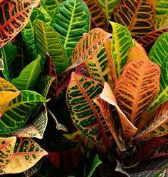 Discover how to keep croton plants colorful leaves vibrant. Get house plant care of croton plant, how to water, fertilize, repot and more. Small Flowering Plants, Leafy Plants, Ornamental Plants, Foliage Plants, Tropical Plants, Indoor Plants, Croton Plant Care, Crotons Plants, Flower Pot Design