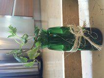 Así es como se veían nuestras botellas, introduces la planta y por abajo cuelgan las raíces y caen al agua y por medio de ahí siguen con su crecimiento normal