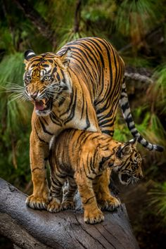 Sumatran tiger, Joanne, is a protective first-time mother. Her three adorable cubs are learning what it means to be a big cat at Tiger Trail. (photo: Todd Lahman)