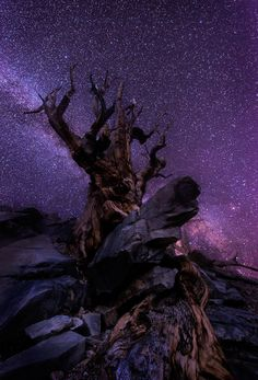 Milky Way Guardian (Ancient Bristlecone Pine under the stars) by Justin Poe on 500px