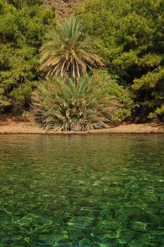 Datça hurması - Datça date palm (Datça, Turkey)