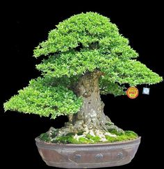 The trunk and the nebari of this bonsai is fantastic! It looks like it could be an Olive tree.