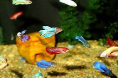 Female sorority tanks: at least 10 gallons and at least 6 females...and lots of places to hide(: Tropical Freshwater Fish, Freshwater Aquarium Fish, Tropical Fish, 10 Gallon Fish Tank, Betta Fish Care, Betta Tank, Aquarium Fish Tank, Fish Tanks, Big Aquarium