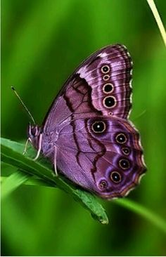 We can't take our eyes off beautiful butterflies. Bring the outdoors inside with our new Butterfly House collection. Butterfly Kisses, Purple Butterfly, Butterfly Flowers, Butterfly Wings, Butterfly House, Purple Love, All Things Purple, Beautiful Bugs, Beautiful Butterflies
