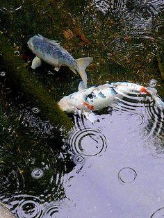 Explore JohnnnyZ photos on Flickr. JohnnnyZ has uploaded 812 photos to Flickr. Koi Art, Fish Art, Koi For Sale, Koy Fish, Koi Painting, Goldfish Pond, Carpe Koi, Salt Water Fish, Japanese Koi