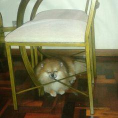 #harley : Relaxando aqui  em baixo da cadeira! !! / / Relaxing down here from the chair! !! ____________________________________________ #amo #animals #adorable #beautiful #cute #cachorro #dog #dreamdog #dogslife #dogstagram #love #likeit #life #fluffy #pet #pretty #perro #petlove #petstagram #instacute #petsofinstagram #pom #pomeranianpuppy #puppy #spitz #germanspitz #pomerania #follow