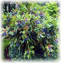 Low Maintenance Shrubs for the South - Mahonia Grapeberry or Leather leaf, mahonia beali 4HX4W