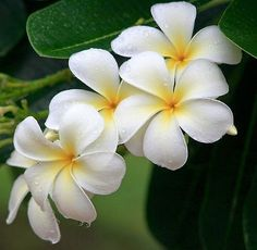 The Most Beautiful Flowers in the World. - The Garden Corner Plumeria Most Beautiful Flowers, My Flower, Pretty Flowers, White Flowers, Flower Power, Spring Flowers, Flower Art, Flores Plumeria, Plumeria Flowers