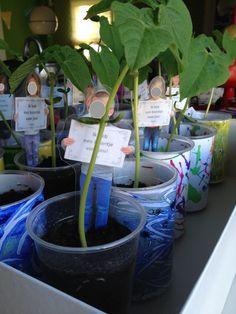Kls boontjes laten planten in een plastic beker, wikkel versierd naar keuze, lamineren, vastnieten rond beker. Foto gemaakt van elke kleuter met bordje 'ik heb een boontje voor jou,' uitknippen, lamineren naast het plantje prikken!