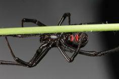 Black Widow Spider on a plant.