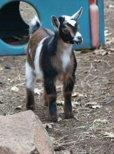 Tri-colored Nigerian Dwarf Goat kid - looks like Clyde, our Whether Nigerian