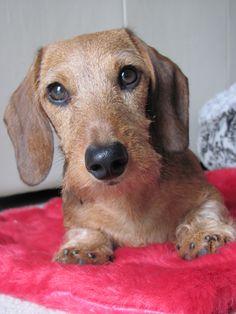My sweet wirehaired dachshund puppy, Jonah