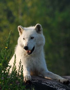 Arctic Wolf, Toronto Zoo.   #arcticwolf #animals #wildlife #torontozoo