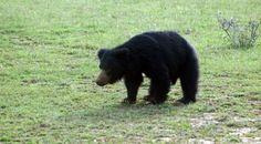 Sri Lankan Sloth Bear ou l'Ours Lippu sont des ours nocturnes, l'espèce melsursus ursinus est endémique au Sri-Lanka !  #DilmahConservation #tealover #the #tea #picture #worldcare #protection #conservation #humanbeing #nature #animal #human #action #SriLanka #bear #slothbear Nocturne, Conservation, Sloth Bear, Black Bear, Sri Lanka, Action, Animaux, Group Action, American Black Bear