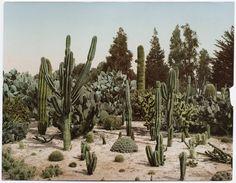 A Cactus Garden in California, 1902