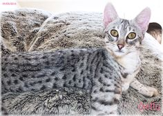 F3 Silver spotted Savannah girl