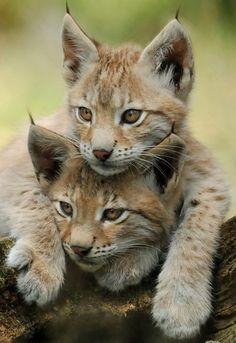 Lynx cubs.