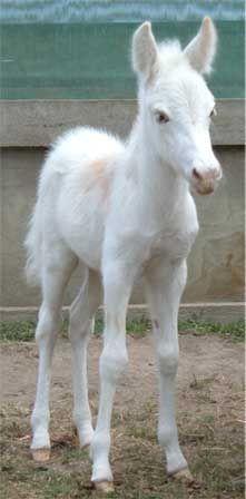Little Neddy, the mule foal