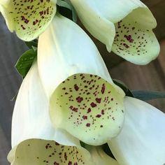 My foxgloves are looking good at last despite almost a fortnight of heavy rain. #foxglove #foxgloves #digitalis #white #whiteflowers #wildflowers #wildflower #englishgarden #cottagegarden #cottagegardenflowers #urbangardenersrepublic #blooms #bloom #blumenliebe #blumen #flower #flowerporn #flowerpower